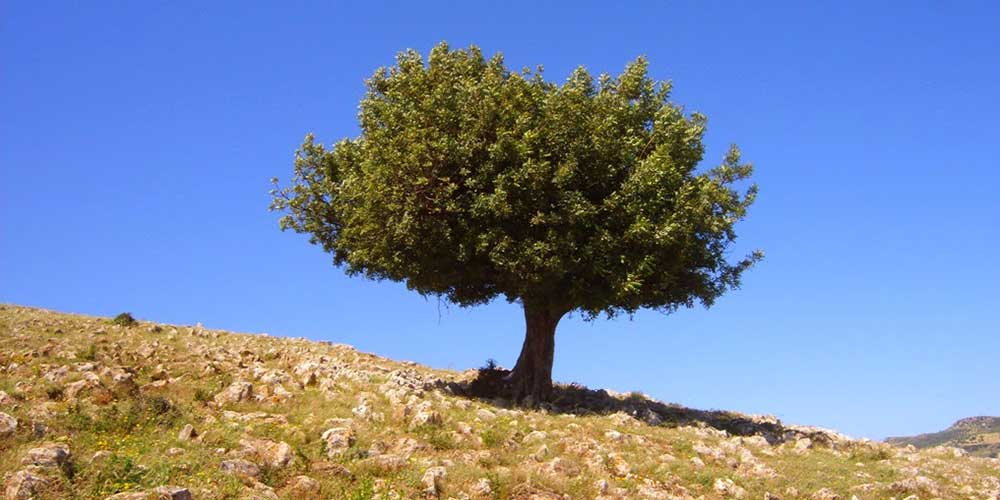 Johannesbroodboom