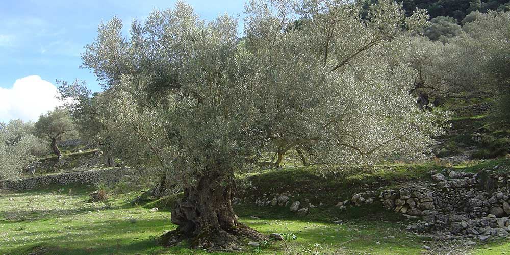 de Olijfboom – 'Olea Europaea'