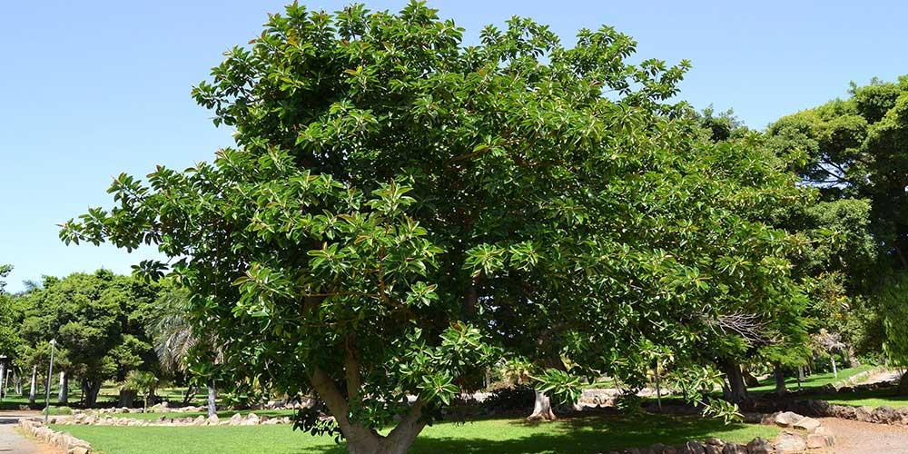 Ficus soorten