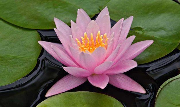 Lotusplanten